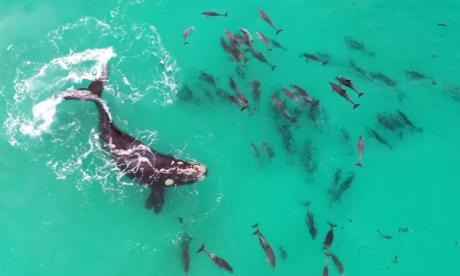 En video   Ballena jorobada y decenas de delfines dan un sublime espectáculo