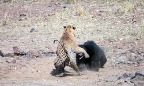 Una osa pelea con un tigre de bengala para salvar a su cachorro