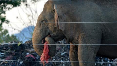 Elefante salvaje hurga en la basura en Sri Lanka.