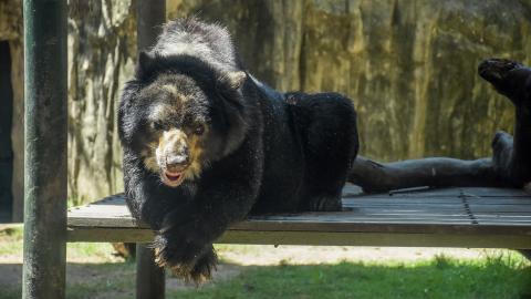 'Chucho', el oso de anteojos, es el nuevo presidente del Zoológico de Barranquilla.