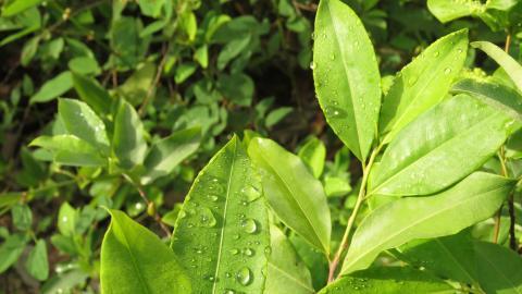 El área de cultivos ilícitos se incrementó. En 12 meses, Colombia sembró 25 mil nuevas hectáreas de coca.