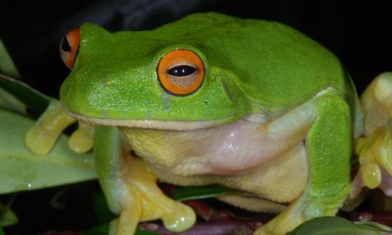 Parásito amenaza a ranas y renacuajos en el mundo