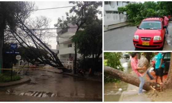 Árboles desplomados tras prolongada lluvia en Cartagena