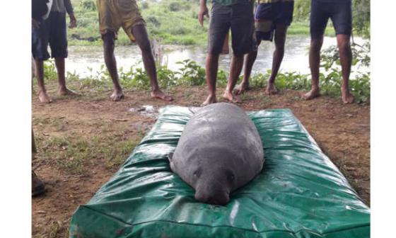 Reubican manatíes rescatados de ciénagas contaminadas del norte de Bolívar