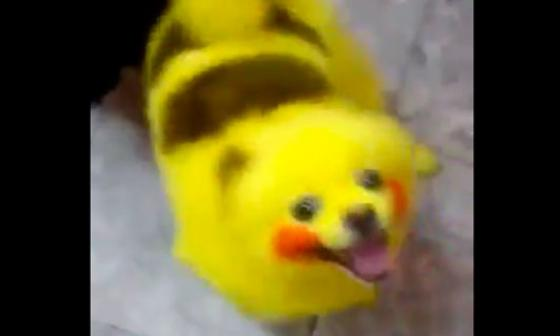 Fiebre Pokémon: Hombre pinta a su perro como Pikachu
