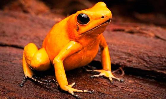 Colombia refuerza labor para evitar tráfico ilegal de ranas doradas