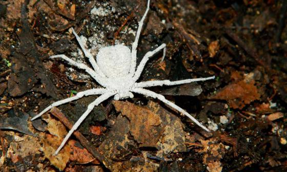 Hallan nueva especie de araña en el Cesar y La Guajira