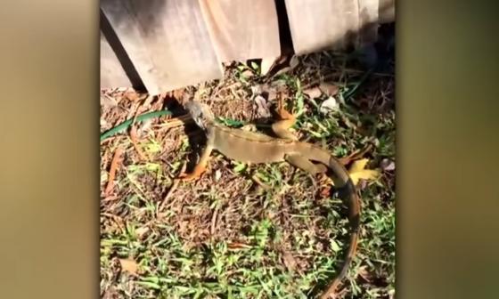 "Iguanas congeladas ""reviven"" tras ola de frío en Florida"