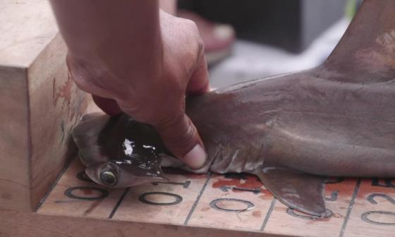 Descubren 'guardería' de tiburones martillo en las islas Galápagos