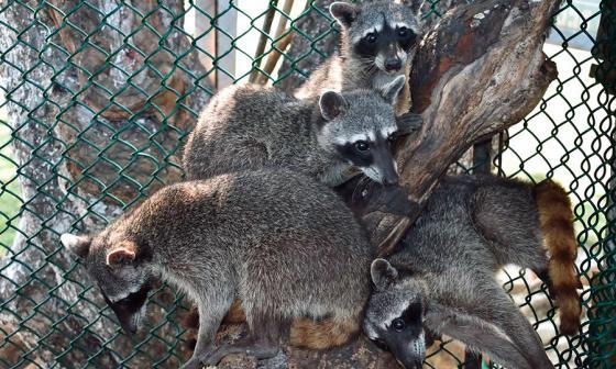 Algunos de los mapaches que regresaron a su hábitat cerca de Cartagena.