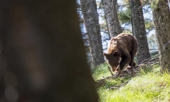 EEUU prohíbe la cacería de osos grizzly