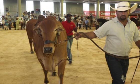 Ejemplar de ganado bovino en Agroexpo Caribe.