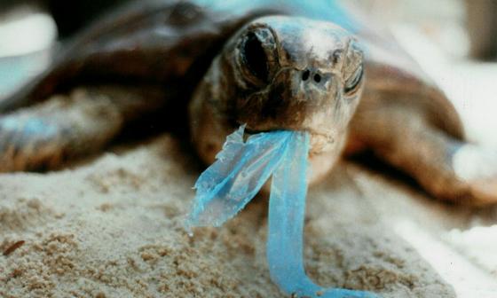 Una tortuga sostiene un fragmento de plástico en su boca. Al ser ingerido, puede causarle graves daños.