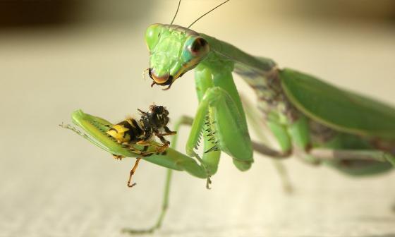 Mantis Religiosa, variedad de insecto que será estudiado por estudiante de Biología de la Universidad del Magdalena.