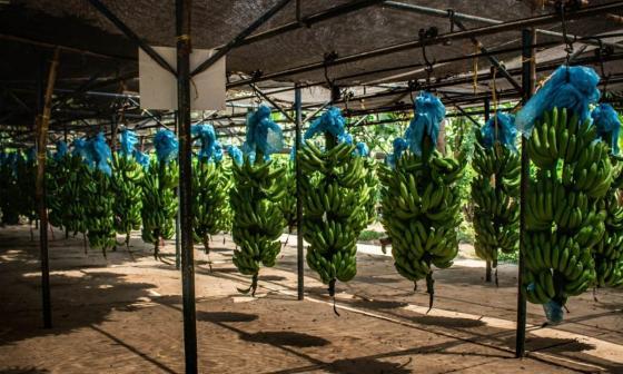 Exportación de banano creció 12,6% entre enero y junio