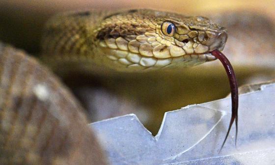 En Brasil transforman veneno de serpientes en un antídoto que salva vidas