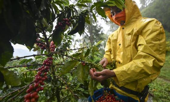 Una persona durante una jornada de recolección de café.