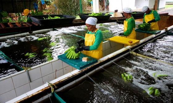 Banano de Colombia con alta demanda en Corea del Sur