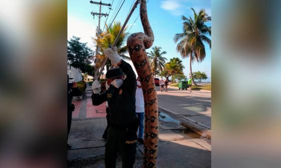 En video   Hallan boa constrictor de 3 metros en playas de Castillogrande