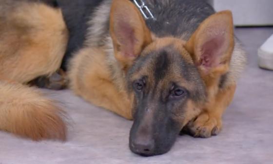 Fallece el primer perro diagnosticado con COVID-19 en EEUU