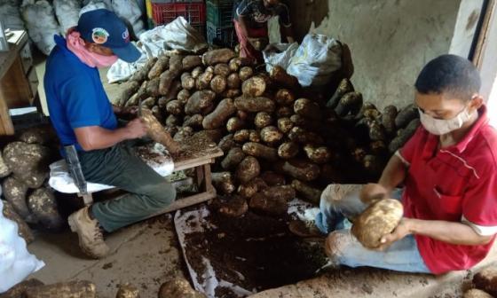 Productores revisan el ñame y la yuca producida en Montes de María.