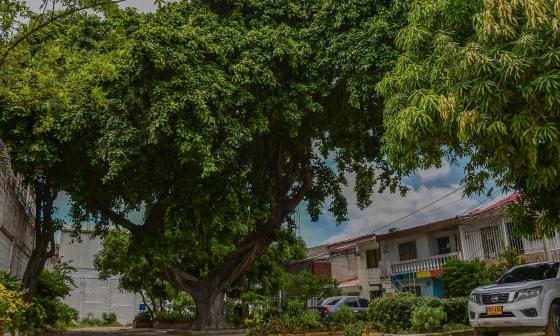 Así se ve el árbol de caucho cartagenero.