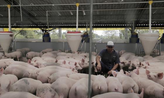 Producción de carne de cerdo en Atlántico fue de 10.967 toneladas