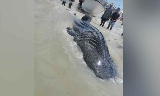 Pescadores de Manaure devuelven al mar un gigantesco tiburón ballena