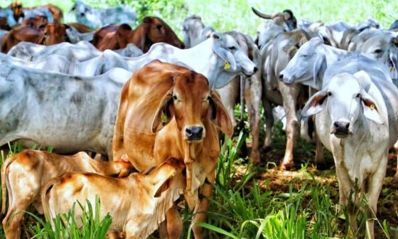 Catar abre mercado a la carne bovina de Colombia