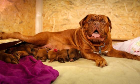 Cuidados a tener en cuenta cuando su perra esté preñada