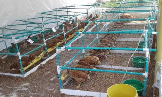Proyecto experimental con gallinas ponedoras y tilapia roja en Uniguajira