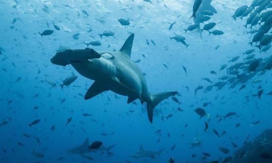 Documentan viaje de Tiburón martillo de Ecuador a Costa Rica