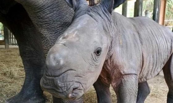 Nace un rinoceronte en un zoológico que busca recuperar la especie