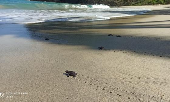 Fiesta en el Tayrona: nacieron 116 tortugas carey