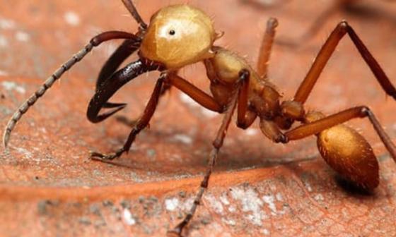 Hormiga carnívora de Brasil ataca a animales en Sucre