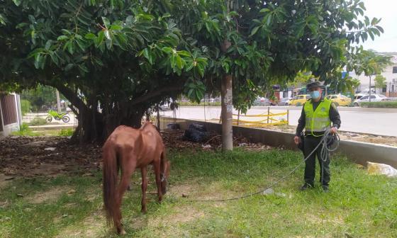Policía rescata equino con signos de maltrato y desnutrición