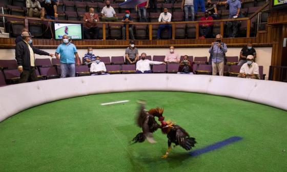 Peleas de gallos a pesar de la covid en República Dominicana