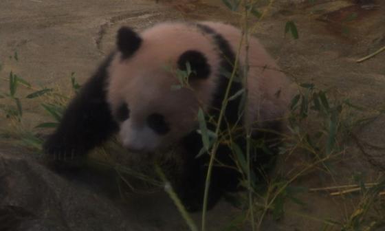 En video | El debut de una bebé panda ante la prensa de Japón