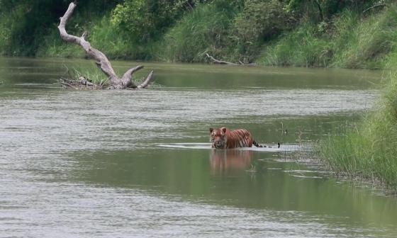 3.200 cámaras ocultas en la selva para contabilizar tigres salvajes