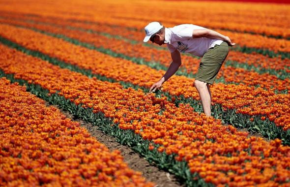 Los tulipanes que enamoran a visitantes en Polonia