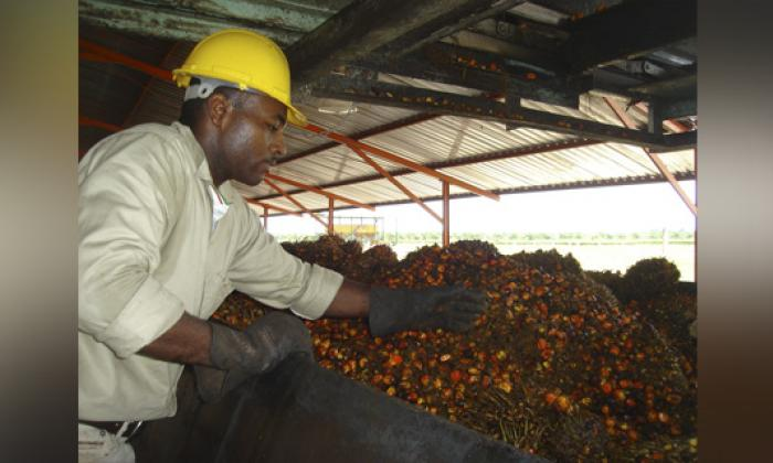 Producción de aceite de palma llega a 1,2 millones de toneladas