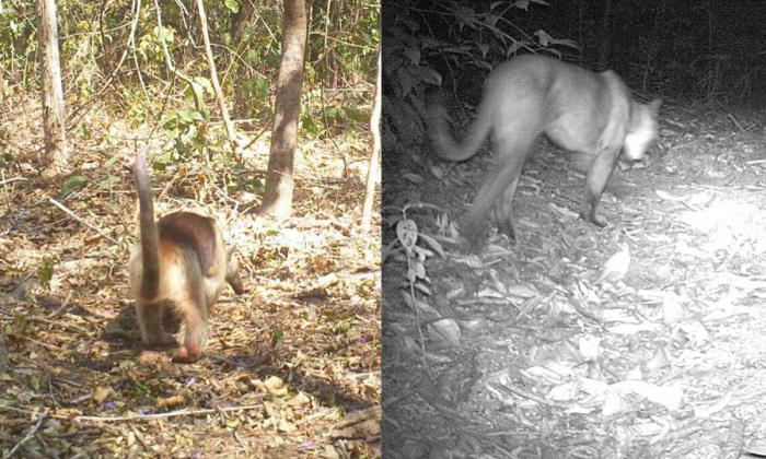 En la imagen un oso hormiguero y un puma, vistos durante el cierre del parque por un mes.
