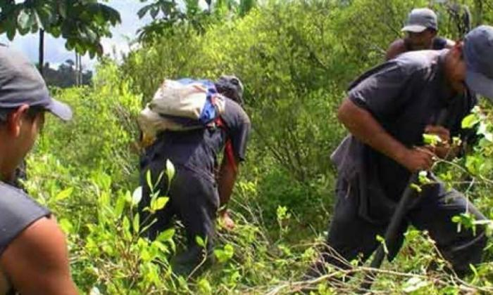 EEUU reporta Colombia tiene sembradas 188.000 hectáreas de coca