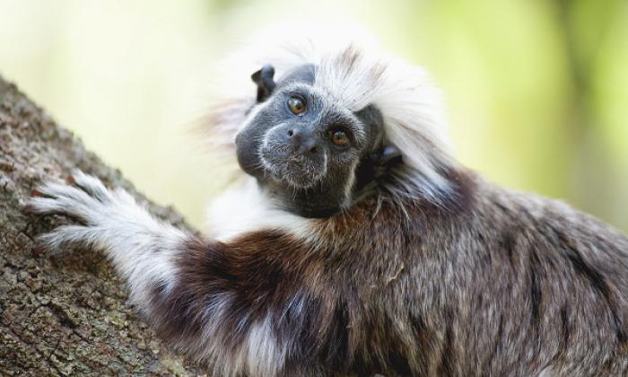 Murió Támara, la cara famosa de los monos titíes cabeciblancos