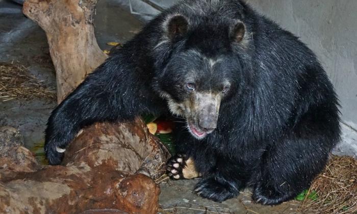La llegada de Chucho al zoológico de B/quilla ha causado polémica en las redes