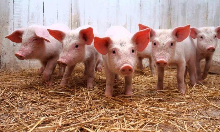 La carne de cerdo, nutrición y economía