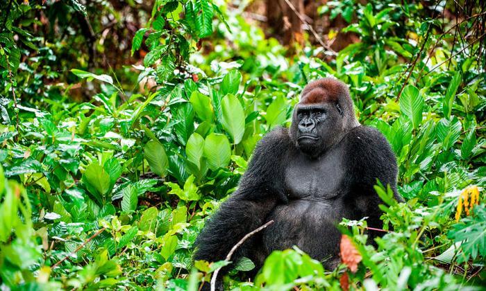 Imagen de referencia de un gorila.
