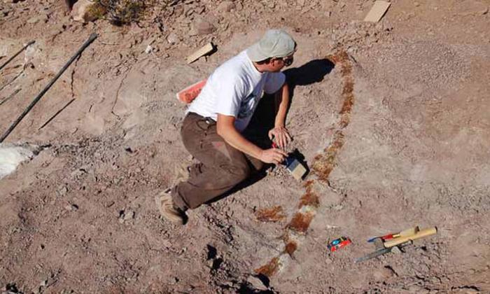Hallan restos de una nueva especie de dinosaurio saurópodo en Argentina