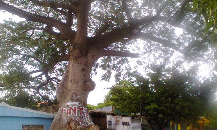 La bonga más famosa de Santa Marta fue podada, pero quieren que la talen