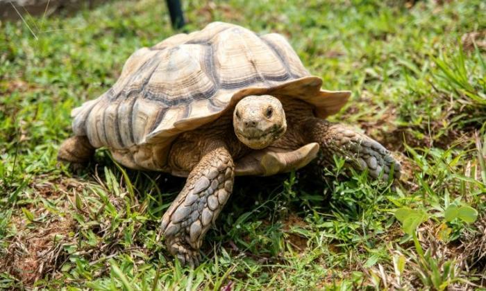 Actualmente hay unas 700 tortugas en el refugio.